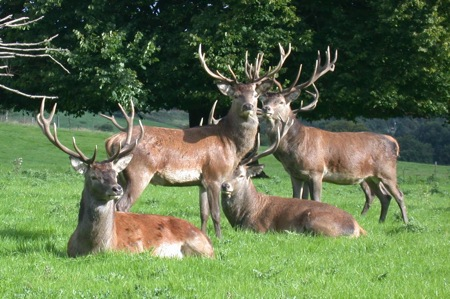 stags_000